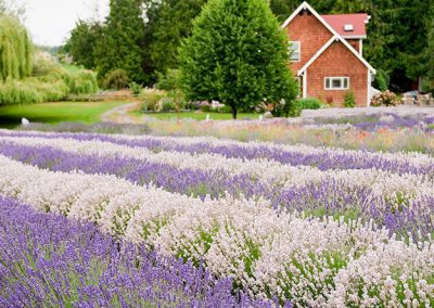 6 Ways to Love Lavender Even More